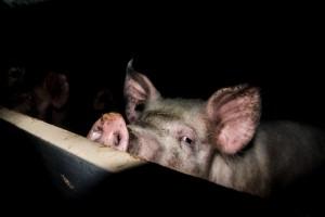 Schweinereport_12