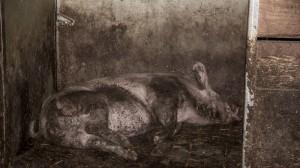 Schweinereport_5