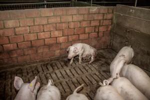 Schweinereport_6